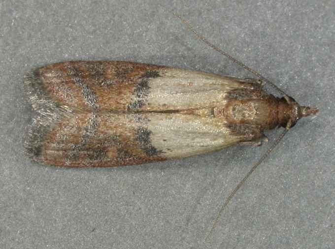 Indian_Meal_Moth